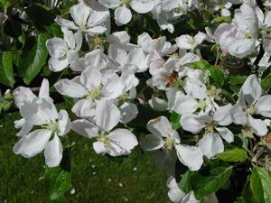Nastan utrotat trad blommar i goteborg 3